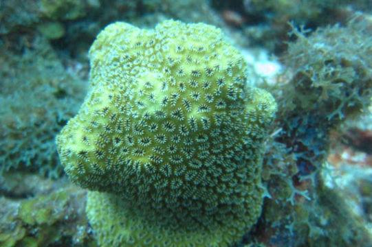 Image of Elliptical Star Coral