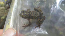 Image of Darien Stubfoot Toad