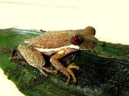 Image of Brook frog