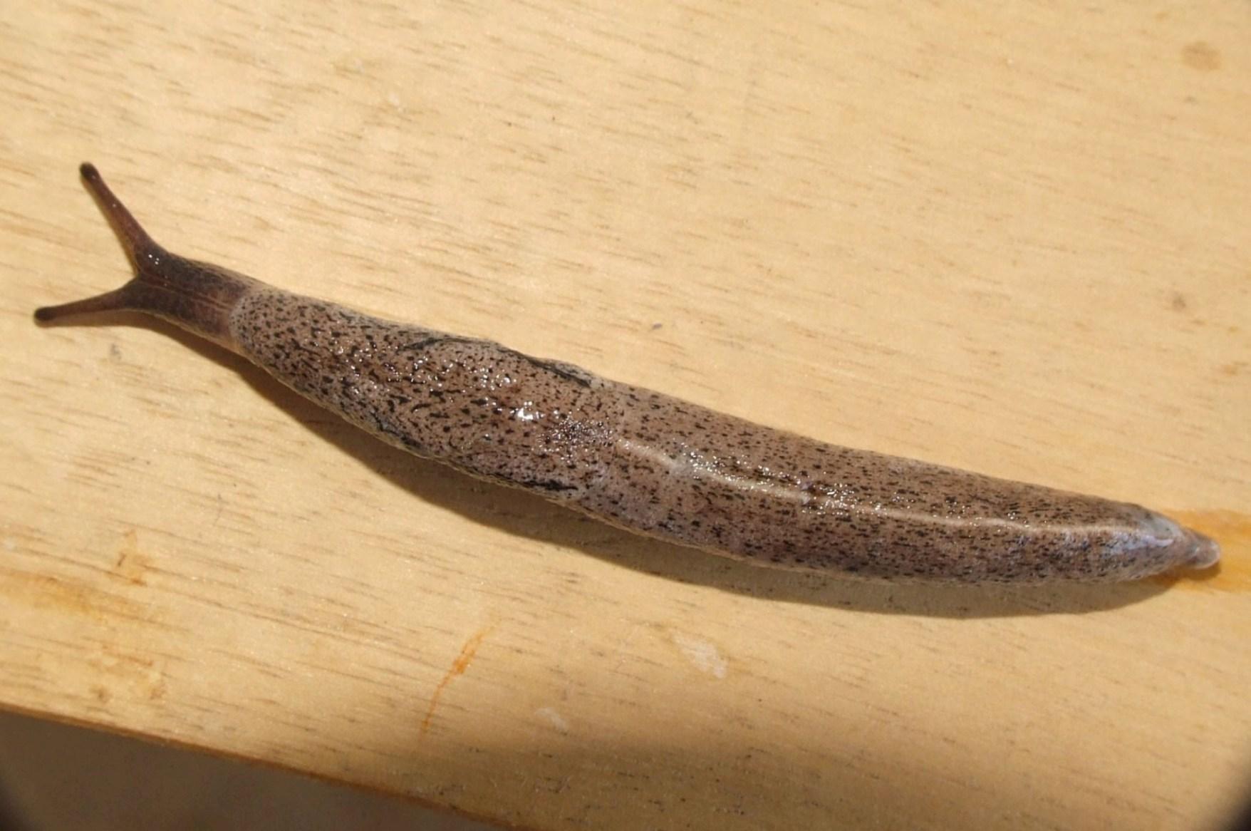 Image of <i>Tandonia rustica</i> (Millet 1843)