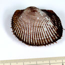 Image of Blood clam