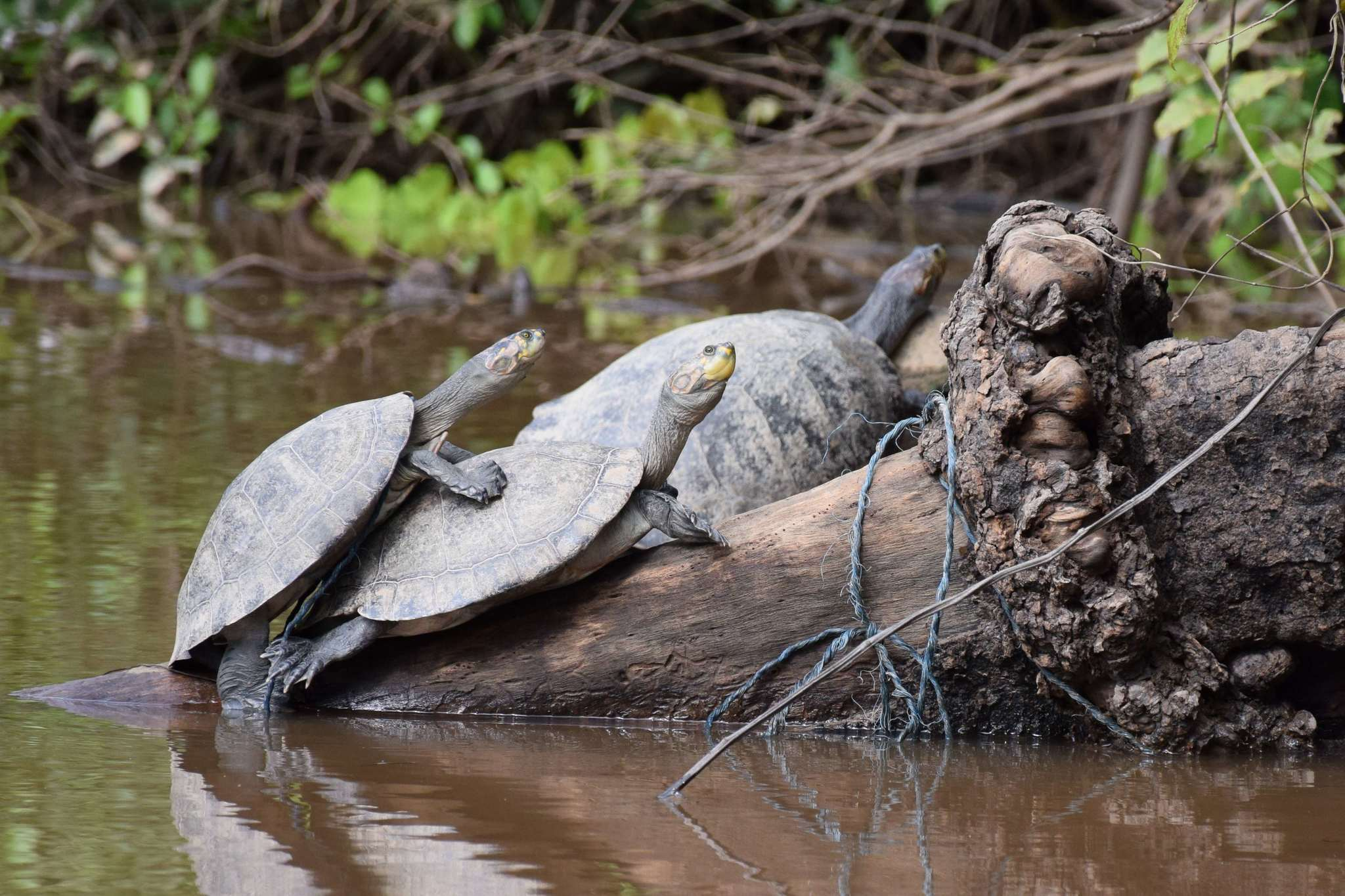 Image of Yellow-spotted river turtle