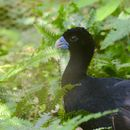 Image of Blue-billed Curassow