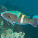Image of Five-banded parrotfish