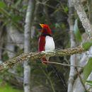 Image of King Bird of Paradise