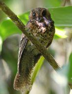 Image of Mountain Owlet-Nightjar