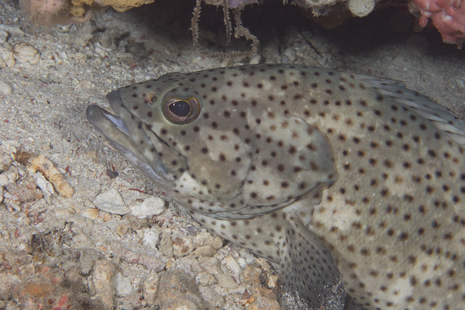 Image of coral rockcod