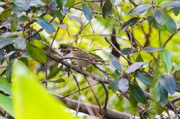 Image of Worm-eating Warbler