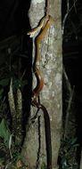 Image of <i>Ithycyphus perineti</i> Domergue 1986
