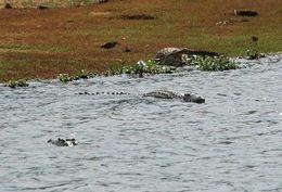 Image of <i>Crocodylus niloticus madagascariensis</i> Grandidier 1872