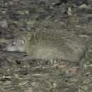 Image of tailless tenrec