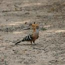 Image of Madagascan Hoopoe