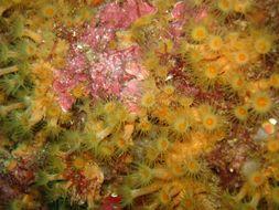 Image of <i>Parazoanthus axinellae</i>