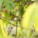 Image of Capped White-eye