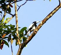 Image of Hooded Butcherbird