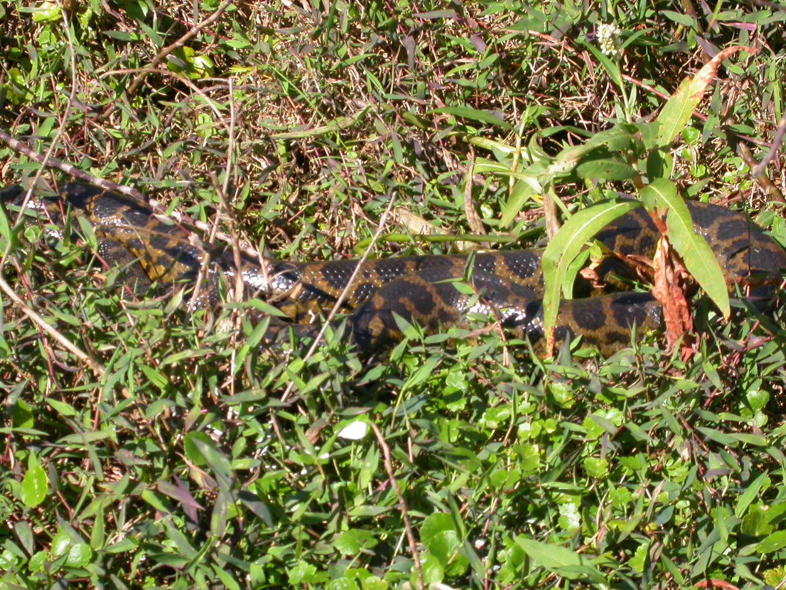 Image of Yellow anaconda