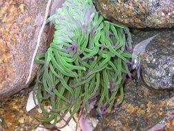 Image of <i>Anemonia viridis</i>
