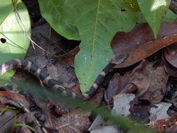 Image of <i>Leptodeira frenata</i> (Cope 1886)