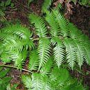 Image of <i>Woodwardia radicans</i>