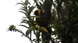 Image of Golden-collared Tanager