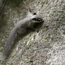 Image of Black-eared Squirrel