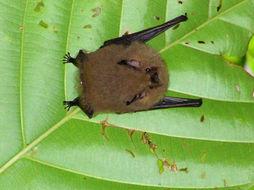 Image of Thomas's Shaggy Bat