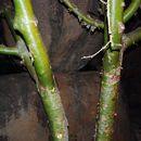 Image of <i>Commiphora marlothii</i>