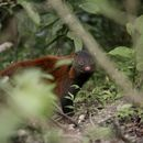 Image of Stripe-necked Mongoose