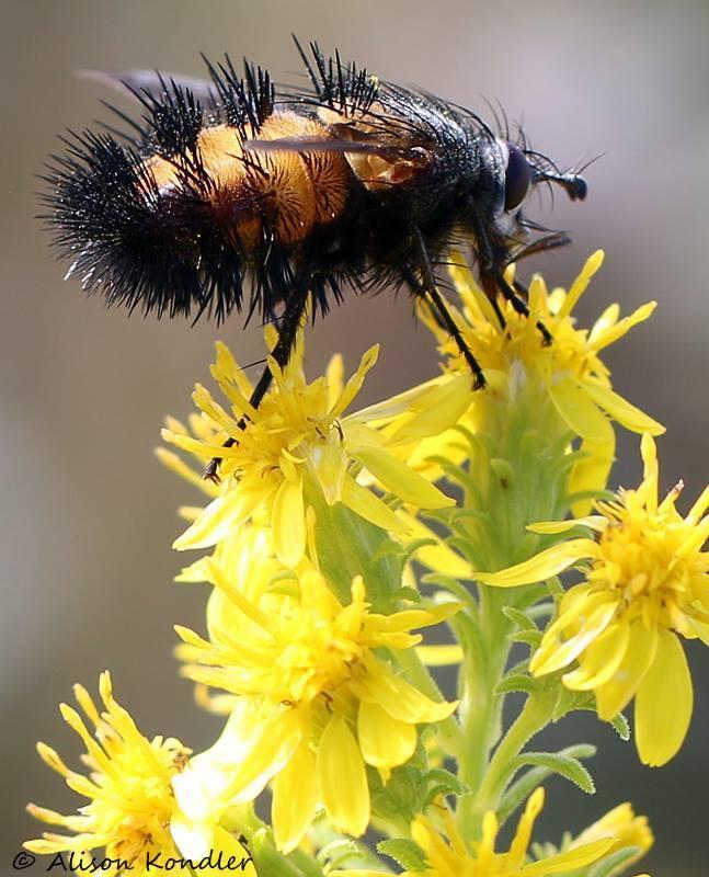 Image of Spiny Tachina Fly