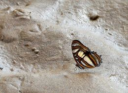 Image of <i>Metamorpha elissa</i>