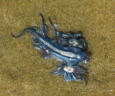 Image of Blue glaucus