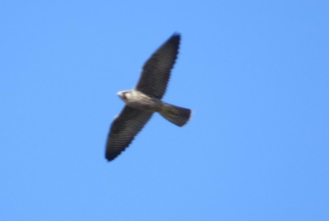 Image of <i>Falco peregrinus tundrius</i> White & CM 1968