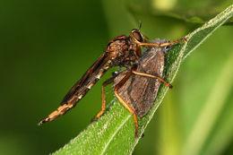 Image of <i>Asilus sericeus</i> Say 1823