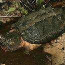 Image of Apalachicola Alligator Snapping Turtle