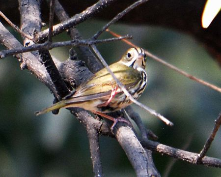 Image of Ovenbird
