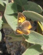 Image of <i>Lycaena hermes</i>