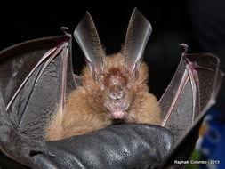 Image of Bate's Slit-faced Bat
