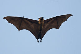 Image of Indian Flying Fox