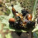 Image of Arizona Tortoise Beetle