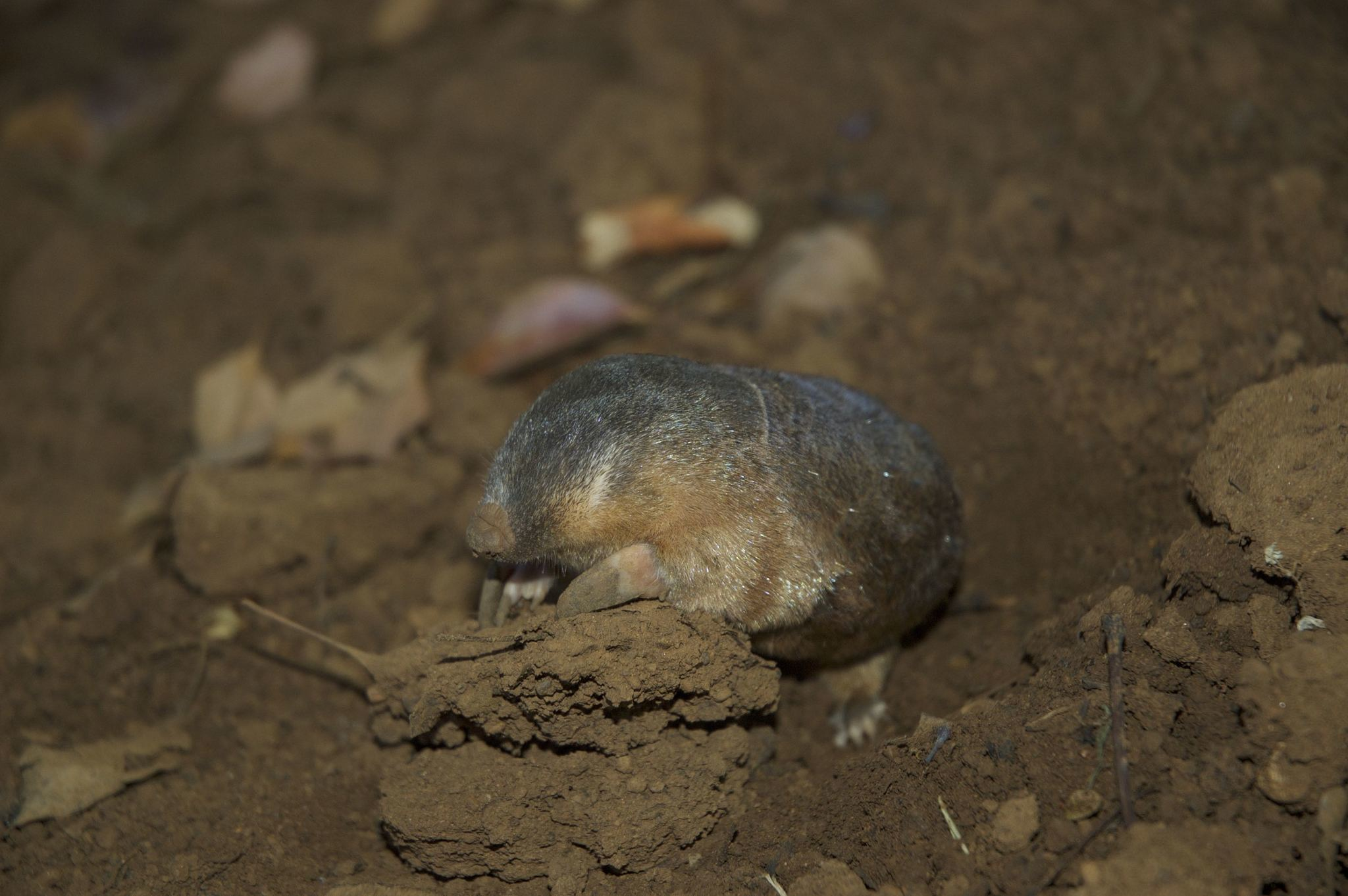Image of Robust Golden Mole