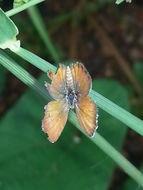 Image of <i>Brephidium <i>exilis</i></i> ssp. exilis