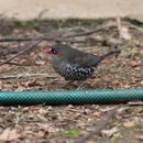 Image of Red-eared Firetail