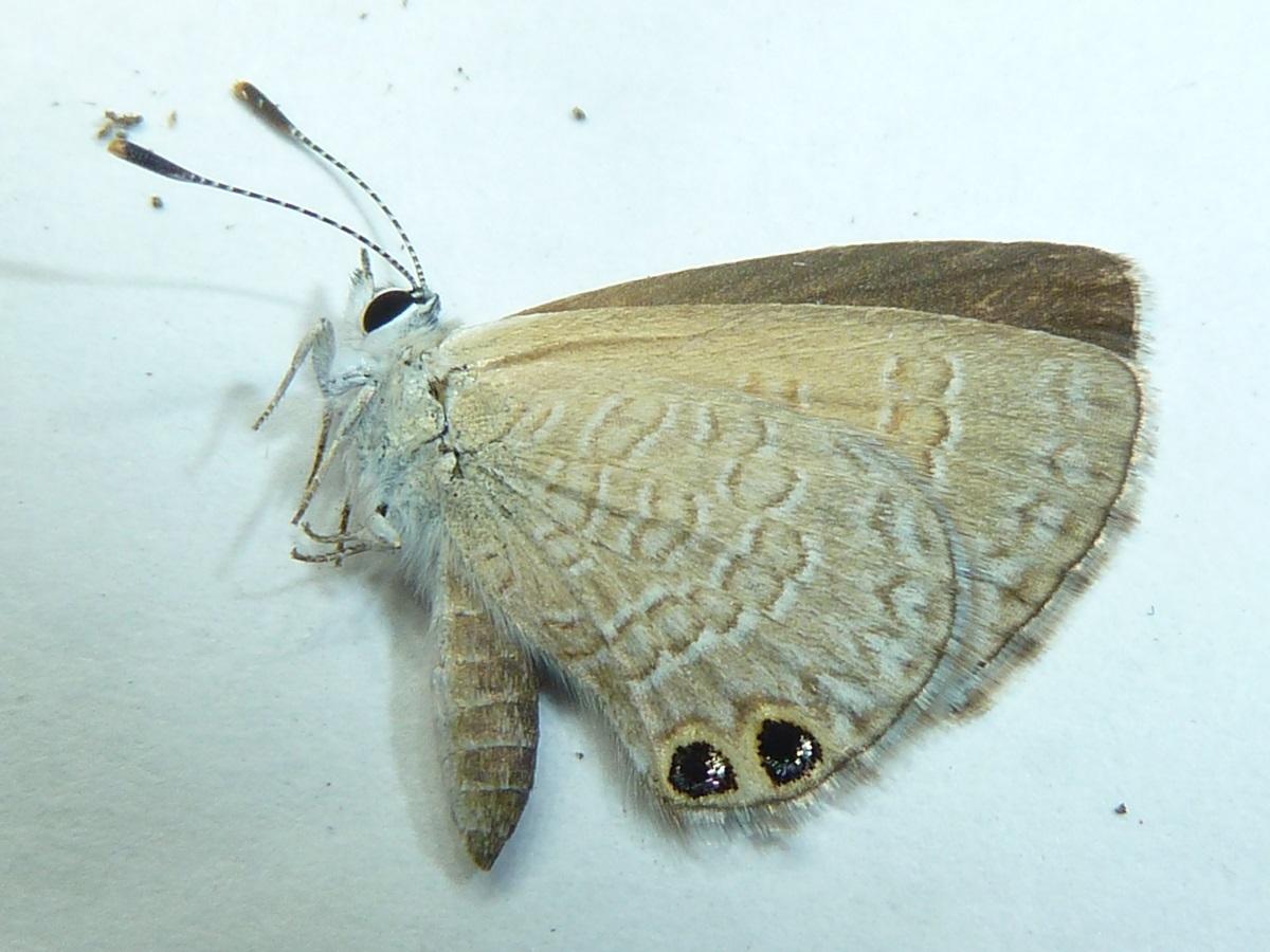 Image of <i>Nacaduba biocellata</i> (Felder & Felder 1865)