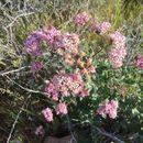 Image of <i>Acourtia wrightii</i>