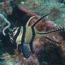 Image of Banggai Cardinalfish