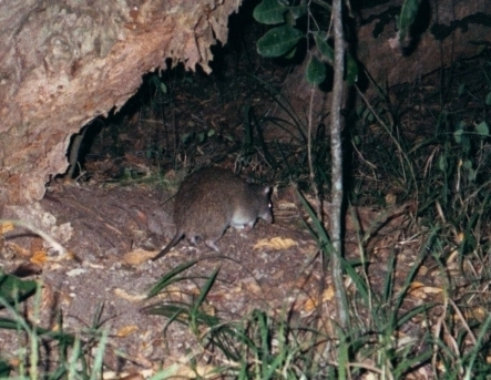 Image of Long-nosed Bandicoot