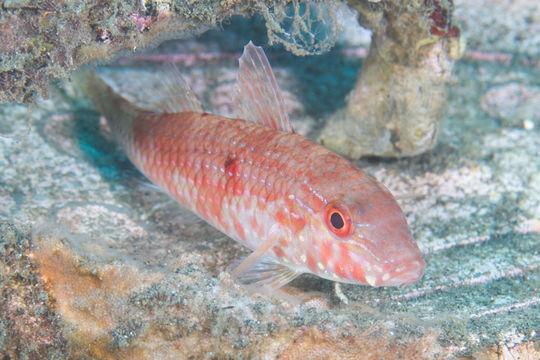 Image of Cinnabar goatfish