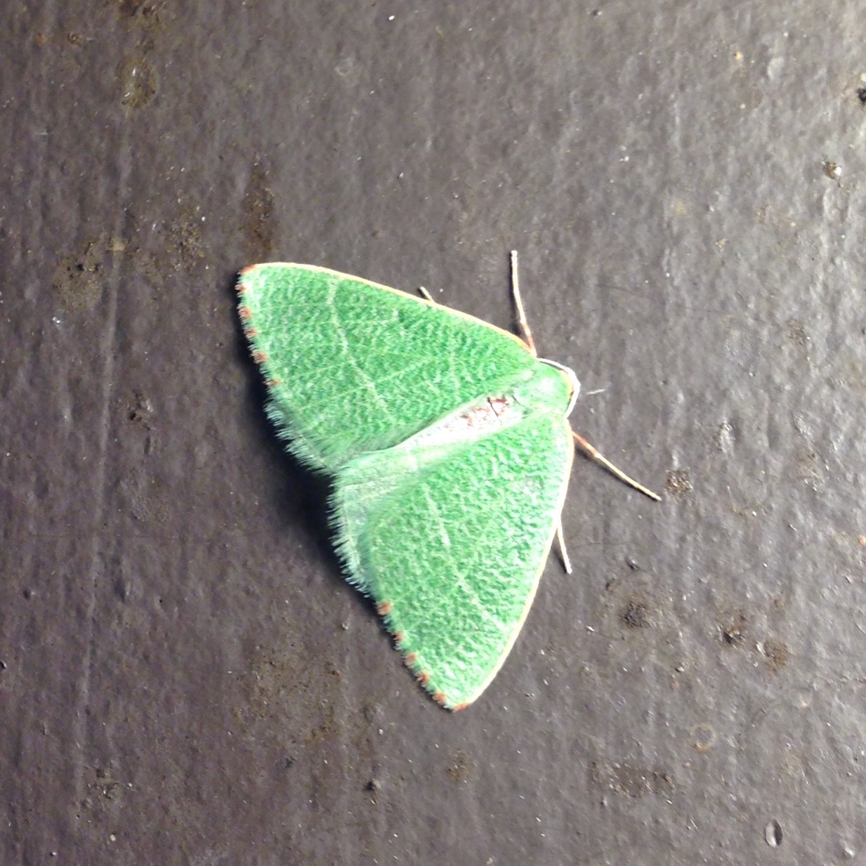Image of Bank's Emerald Moth