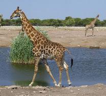 Image of Angolan Giraffe