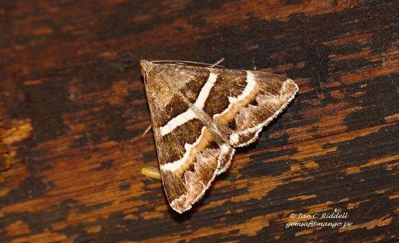 Image of <i>Grammodes stolida</i> Fabricius 1775